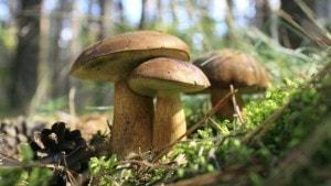 Los hongos, otra fuente alternativa en Japón