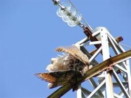 Ecologistas advierten de las muertes de aves por tendidos eléctricos sin aislamiento