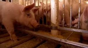 El estiércol de cerdo, como fuente de energía